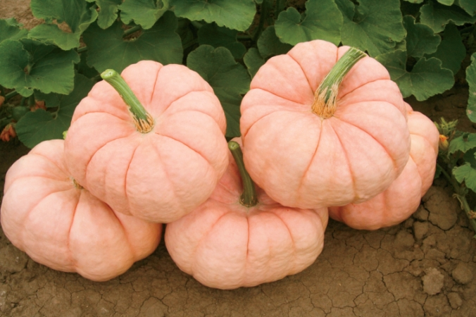 Pink Pumpkin Project