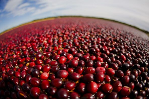 Cranberries ready for harvest